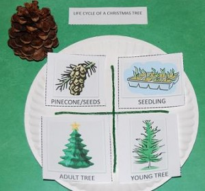 Life-Cycle-of-a-Christmas-Tree-001-300x279