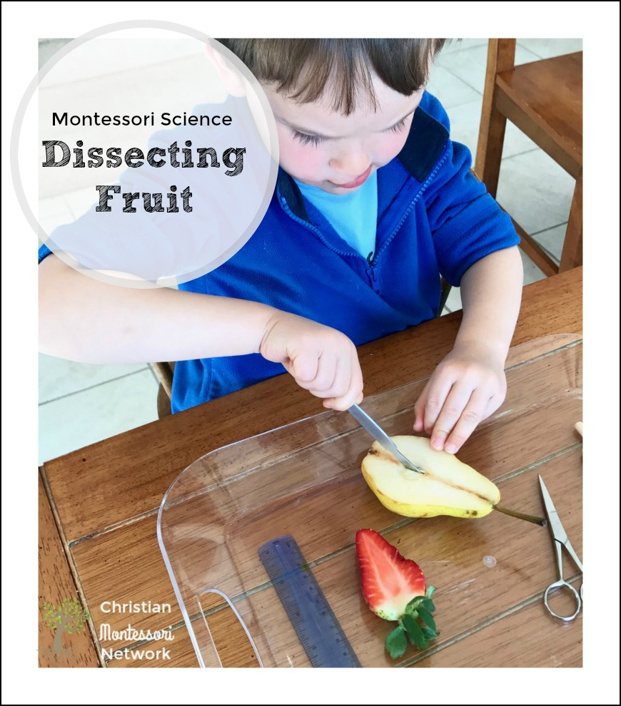 This Montessori Science Dissecting Fruit lesson identifies the various structures of the fruit, compares fruit seeds, matching work, and a spiritual lesson.